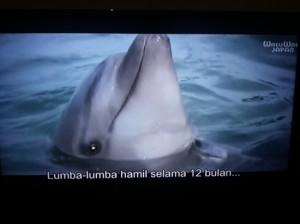 Lumba-lumba yang hamil usai diperiksa (screenshot by Syaifuddin)